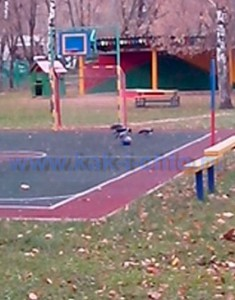 Вороны играют в мячь